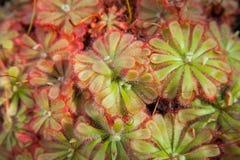 Sundew, στενός επάνω εγκαταστάσεων drosera πράσινος και κόκκινος Στοκ Φωτογραφίες