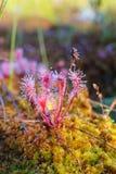 Sundew в болоте Стоковые Фотографии RF