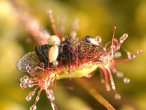 Sundew photos stock