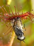 Sundew photographie stock