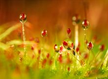 Sundew Royalty Free Stock Photo