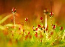 Sundew. An extreme closeup of a sundew carnivorous plant Royalty Free Stock Photo