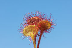 Sundew against the sky Royalty Free Stock Photos