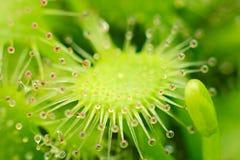 Sundew - capillaris del Drosera Fotografie Stock