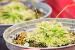 Sundew (Carnivorous Plant) Royalty Free Stock Image