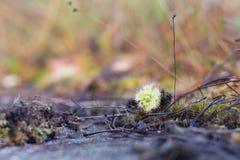Sundew, carnivorous plant Stock Photography