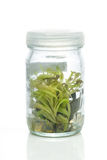 Sundew (Carnivorous Plant),Plant tissue culture in the lab. Oratory on white Stock Photography