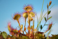 Sundew commun - centrale carnivore photographie stock