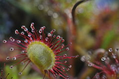 Sundew - drosera flower closeup. Abstract background with a carnivorous plant Stock Image