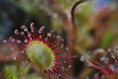 Sundew - drosera flower closeup Stock Image