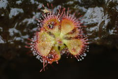 sundew Royalty Free Stock Photos