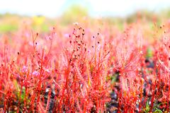 Sundew. Drosera indica red Royalty Free Stock Images