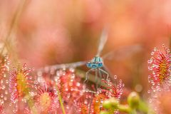 Sundew drosera intermedia caught dragonfly. In nature outside in belgium royalty free stock images