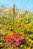 Sundew, Drosera rotundifolia. Round-leaved sundew, Drosera rotundifolia, growing on moss in tundra royalty free stock photography