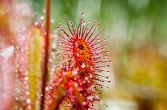 Sundew Drosera rotundifolia lives on swamps it fishes royalty free stock image