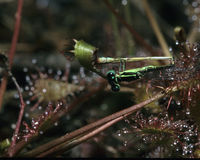 Sundew with Eastern Forktail Damselfly Royalty Free Stock Image