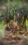 Sundew - a flesh eater plant Royalty Free Stock Photography