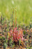 Sundew - a flesh eater plant Stock Images