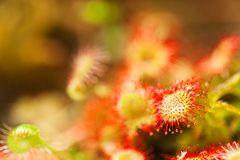 Sundew plant Royalty Free Stock Photo