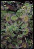 Sundew Plant Royalty Free Stock Images