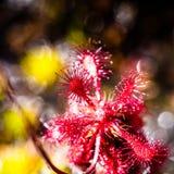 Sundew (rotundifolia Drosera) στο οροπέδιο του tepui Roraima - Βενεζουέλα, Νότια Αμερική Στοκ Εικόνες