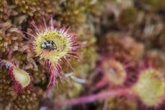 Sundew rotundifolia in Sphagnum bog in the Highlands of Scotland. Royalty Free Stock Photos