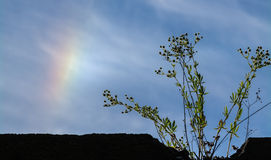 Sundog and prickly lettuce Stock Image