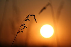 The Sundown. The Herbs on background calling at sun.Silhouettes Stock Photo