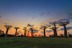 Sundown baobabs Royalty Free Stock Photography