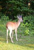 Sundown buck Stock Photography