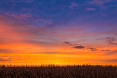 Sundown Maize Royalty Free Stock Image