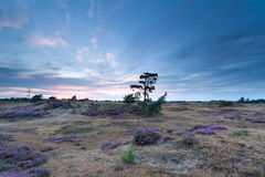 Sundown over heather on sand dunes Royalty Free Stock Photography