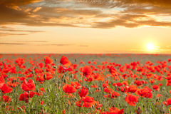 Sundown poppy field landscape with golden sky Royalty Free Stock Photo