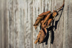 Sundried Leaves. Leaves caught in a fence dried out in the Sun Royalty Free Stock Photography