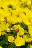 Sundrop (Oenothera) Royalty Free Stock Photo
