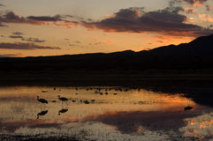 Sunet Over Bosque Del Apache New Mexico. The setting sun emphasizes silhouettes of Sandhill Cranes at the Bosque Del Apache National Wildlife Refuge in New Stock Photo