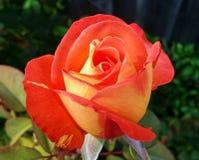 Sunfire Rose Lizenzfreies Stockfoto