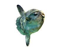 sunfish океана стоковая фотография rf
