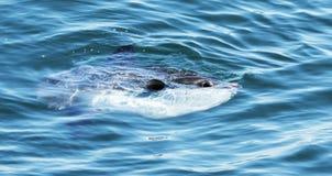 Sunfish смотря из воды Стоковые Изображения RF