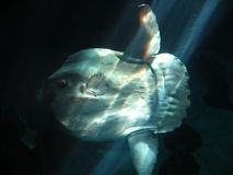 Sunfish Royalty Free Stock Photography