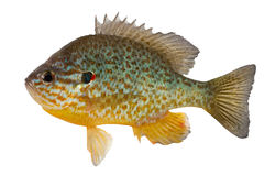 Sunfish Stockfotos