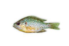 Sunfish Stock Image