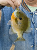 Sunfish stock fotografie