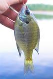 Sunfish, aka, weißer Crappie stockbild