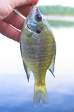 Sunfish, aka, White Crappie Stock Image