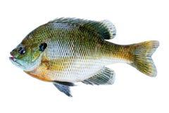 Sunfish de poisson de soleil, lepomis macrochirus image stock