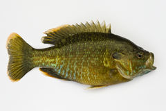 Sunfish de Pumpkinseed isolado Fotografia de Stock Royalty Free