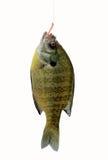 Sunfish del fiume sul gancio Immagini Stock