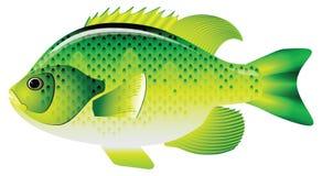Sunfish del Lepomis macrochirus Fotografía de archivo