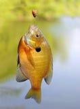 Sunfish del Lepomis macrochirus en un gancho de leva Foto de archivo libre de regalías